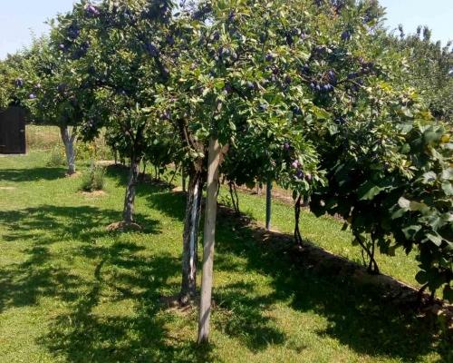 Prodajem plac sa voćnjakom u Suvom Polju, zaseok P...