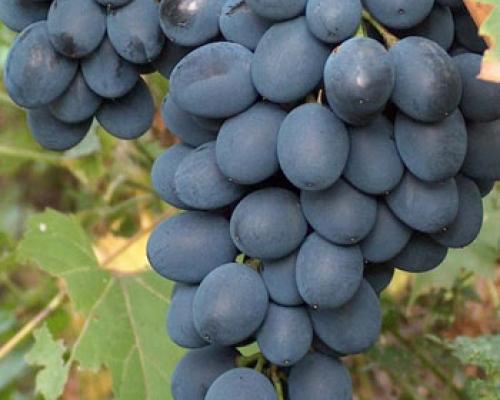 Konzumno grožđe sorte Moldova prodajem