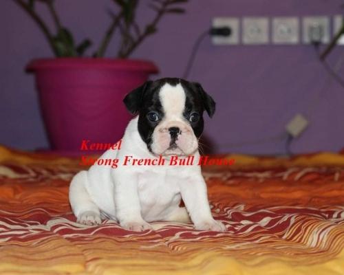 Francuski Buldog