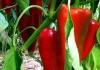 Semberija: Besplatan rasad roge za 43 poljoprivrednika