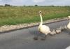 FOTO Tata labud vodio kolonu: Automobili, stanite da prođu moji labudići!