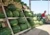 Semberija: Bez očekivane zarade od lubenice