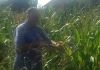 """Semberski ratari na mukama: Rod kukuruza uništilo """"crvenilo"""""""