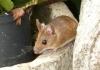 Glodari u Semberiji uništavaju usjeve