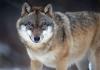 Žene lovci kreću u hajku na vuka