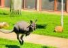 Najpoznatiji semberski kengur i dalje u bjegstvu
