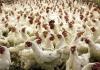 Živinari u RS pooštrili mjere zbog ptičjeg gripa