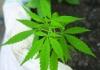 Konoplju u RS mogu uzgajati svi osim osuđenih zbog droge