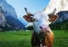Bitkoinka prva krava u Crnoj Gori plaćena bitkoinom