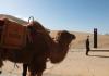 I to se dogodilo: Kina postavila prve semafore za kamile VIDEO