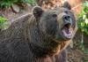 Medvjed napao čobanina, izgrizao ga i polomio mu ruke