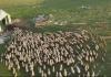 Najveće stado ovaca na Balkanu: Četiri brata čuvaju preko hiljadu grla