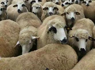 """Oglas koji je zainteresovao mnoge: """"Traži se čoban za čuvanje 180 ovaca, plata 1.200 KM"""""""