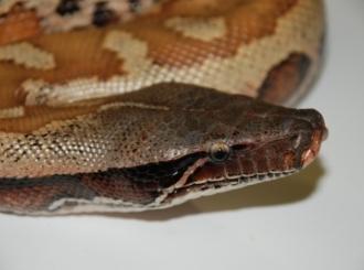 Debeli piton iz australijskog zoološkog vrta mora na dijetu