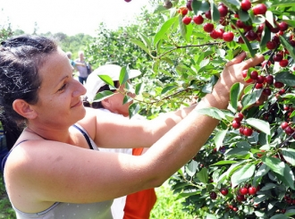 Semberija: Ovogodišnji rod višnje u nekoliko voćnjaka prepolovljen
