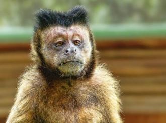 """Čovek u Maleziji pronašao """"selfije"""" majmuna na prethodno izgubljenom telefonu"""