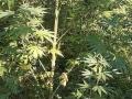 Granična policija otkrila dvije plantaže marihuane na području Bijeljine