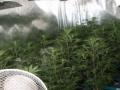 Dvorovi: Marihuanu gajio u plastenicima sa paradajzom