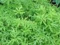 Ove biljke otjeraće komarce