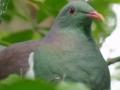 Pijani golub ptica godine: Kad popije, pada s drveća, a ljudi ga nose na trežnjenje