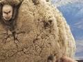 Ovca se šest godina skrivala u pećini da je ne bi ošišali
