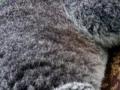 Nakon katastrofalnih požara u Australiji koale se vraćaju u divljinu