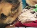Pas spasio devojčicu od zvečarke i platio to sa tri ujeda