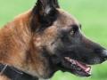 Pas britanske vojske nagrađen za hrabrost