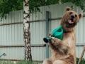 Umesto psa imaju medveda koji pomaže po bašti