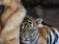 Vučjak i tigar najbolji prijatelji
