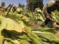 Proizvođači u Semberiji zadovoljni prinosom i otkupom duvana