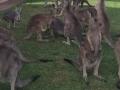 Australija u ratu s kengurima: Planira se ubijanje više od milion životinja ove godine