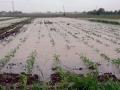 Kiša ugrozila usjeve u Semberiji
