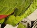 Papagaj otkrio aferu gazde sa sluškinjom