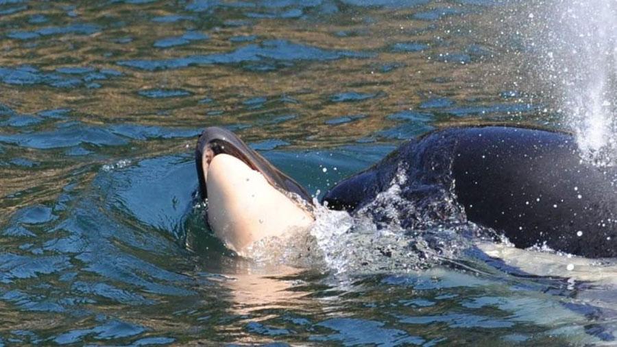 Orka koja tuguje konačno pustila mrtvo mladunče i nastavila plivati sama