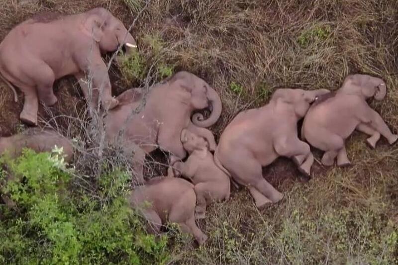 VIDEO Slonovi nakon pređenih 500 kilometara zaspali u šumi