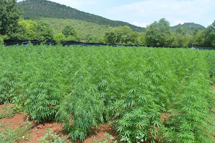 U Crnoj Gori otkrivena najveća plantaža marihuane do sada