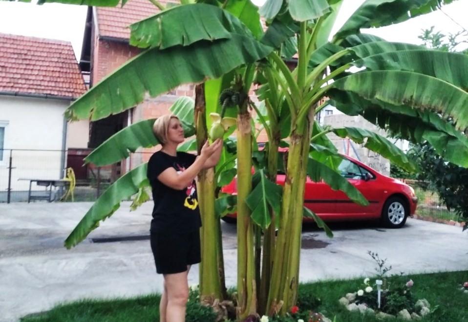 I u Semberiji rodile banane