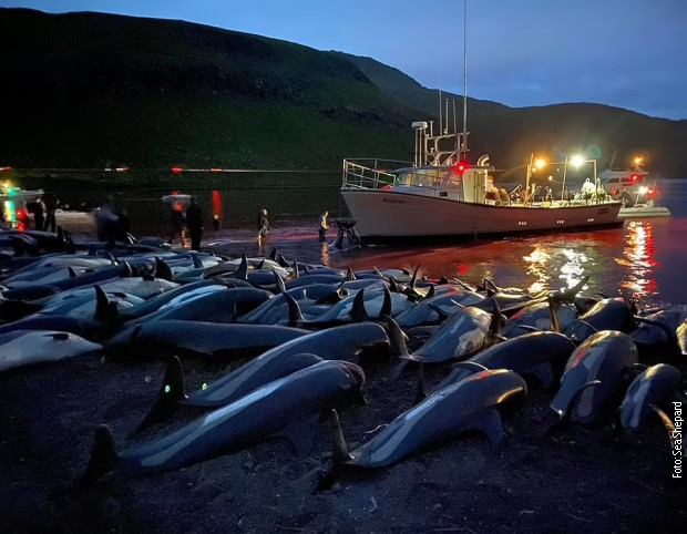 More oko Farskih ostrva ponovo crveno – masakr skoro 1.500 delfina